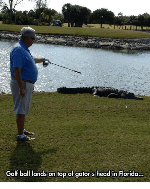 Head, Florida, and Golf: Golf ball lands on top of gator's head in Florida.  ..