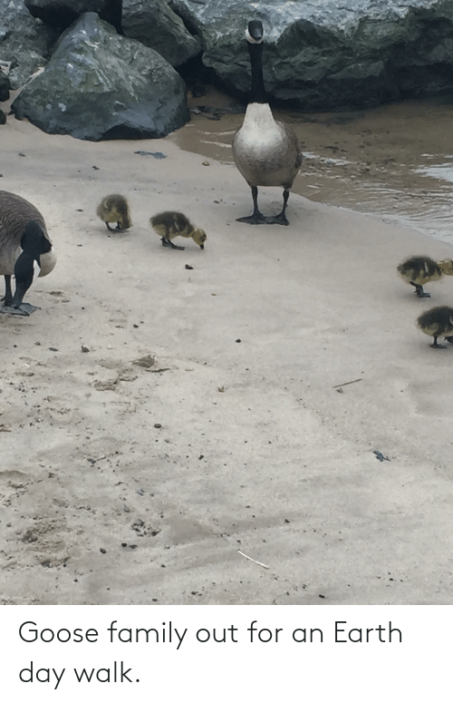 Earth Day: Goose family out for an Earth day walk.