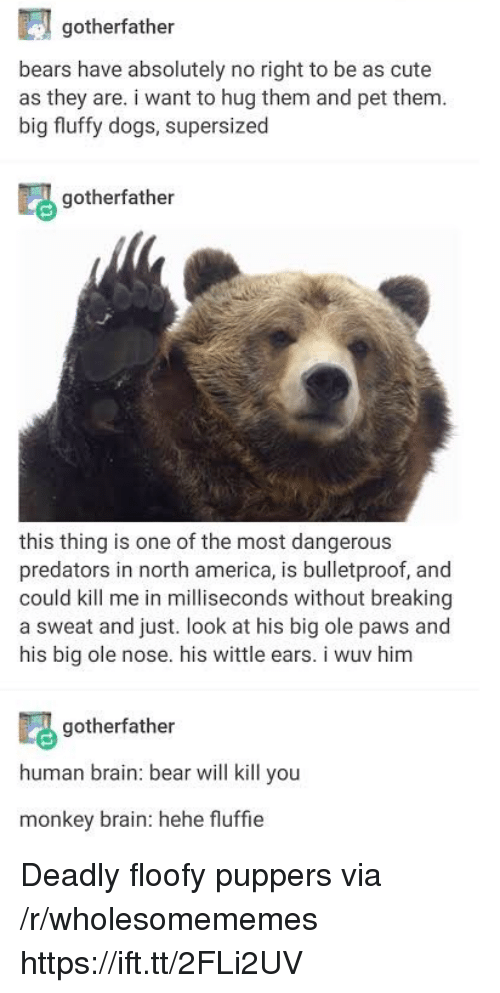 America, Cute, and Dogs: gotherfather  bears have absolutely no right to be as cute  as they are. i want to hug them and pet them  big fluffy dogs, supersized  gotherfather  this thing is one of the most dangerous  predators in north america, is bulletproof, and  could kill me in milliseconds without breaking  a sweat and just. look at his big ole paws and  his big ole nose. his wittle ears. i wuv him  gotherfather  human brain: bear will kill you  monkey brain: hehe fluffie Deadly floofy puppers via /r/wholesomememes https://ift.tt/2FLi2UV