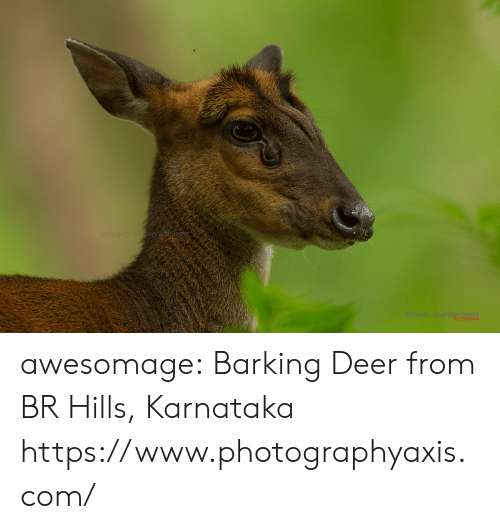 Deer, Tumblr, and Blog: GOVIND V  GOVIND VIJRYAKUMAR  PHOTOGRRPH awesomage:  Barking Deer from BR Hills, Karnataka  https://www.photographyaxis.com/