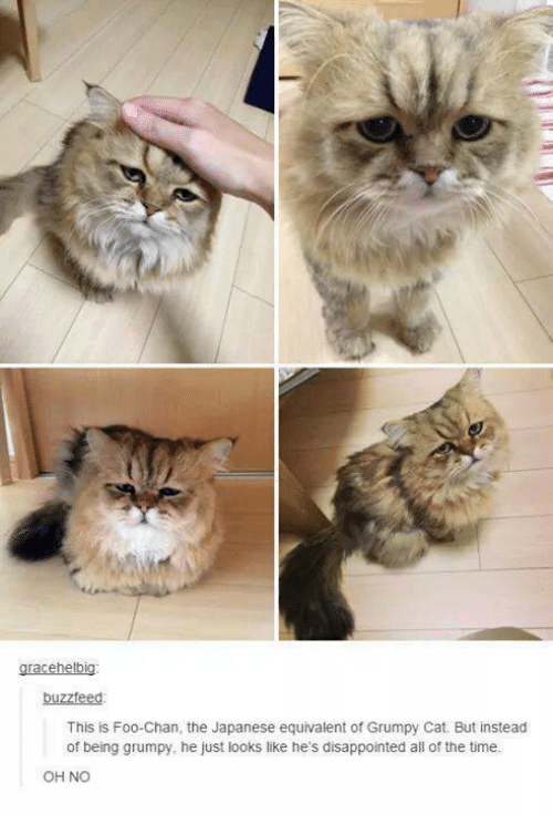 Cats, Disappointed, and Grumpy Cat: gracehelbig:  buzzfeed  This is Foo Chan, the Japanese equivalent of Grumpy Cat. But instead  of being grumpy, he just looks like he's disappointed all of the time.  OH NO