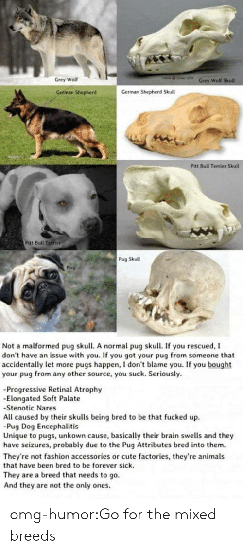 Nares: Grey Wolf  Wolf  German Shepherd  German Shepherd Skull  Pitt Bull Terrier Skull  Pitt Bull Terrier  Pug Skull  Not a malformed pug skull. A normal pug skull. If you rescued, I  don't have an issue with you. If you got your pug from someone that  accidentally let more pugs happen, I don't blame you. If you bought  your pug from any other source, you suck. Seriously.  -Progressive Retinal Atrophy  -Elongated Soft Palate  Stenotic Nares  All caused by their skulls being bred to be that fucked up  Pug Dog Encephalitis  Unique to pugs, unkown cause, basically their brain swells and they  have seizures, probably due to the Pug Attributes bred into them.  They're not fashion accessories or cute factories, they're animals  that have been bred to be forever sick.  They are a breed that needs to go.  And they are not the only ones omg-humor:Go for the mixed breeds