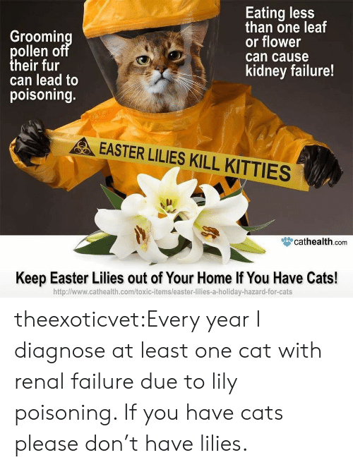 hazard: Groomin  ollen o  heir fur  can lead to  poisoning.  Eating less  than one leaf  or flower  can cause  kidney failure!  EASTER LILIES KILL KITTIES  眥cathealth.com  Keep Easter Lilies out of Your Home If You Have Cats!  http:l/www.cathealth.com/toxic-items/easter-lilies-a-holiday-hazard-for-cats theexoticvet:Every year I diagnose at least one cat with renal failure due to lily poisoning. If you have cats please don't have lilies.
