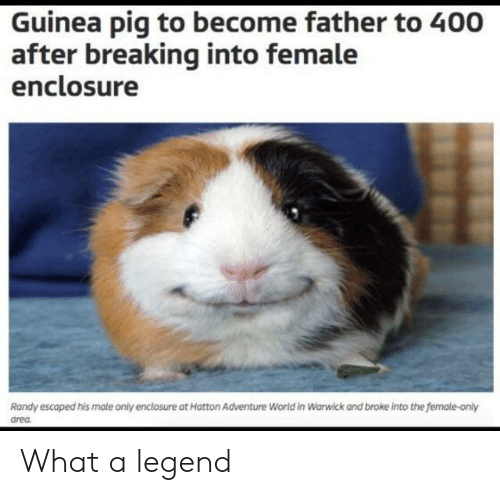 warwick: Guinea pig to become father to 400  after breaking into female  enclosure  Randy escaped his male only enclosure at Hatton Adventure World in Warwick and broke into the female-only  area What a legend