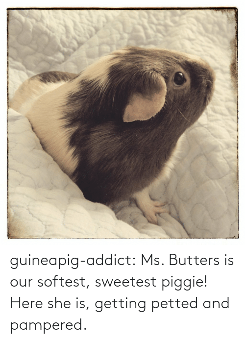 Pampered: guineapig-addict:  Ms. Butters is our softest, sweetest piggie! Here she is, getting petted and pampered.