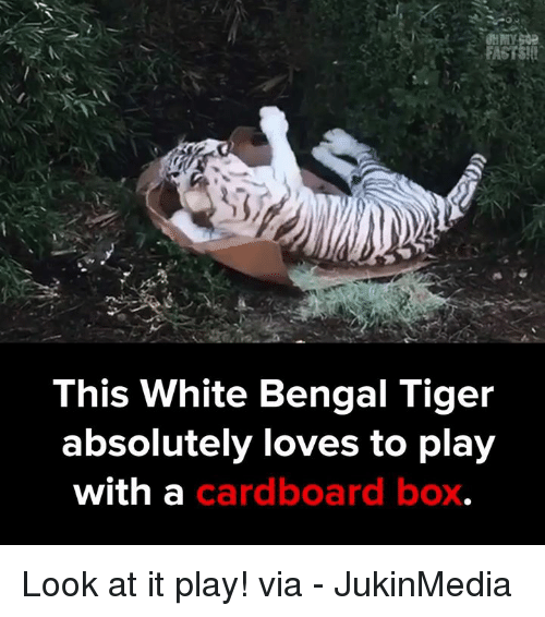 Memes, Bengals, and Tiger: GUMMY  This White Bengal Tiger  absolutely loves to play  with a  cardboard box Look at it play!  via - JukinMedia