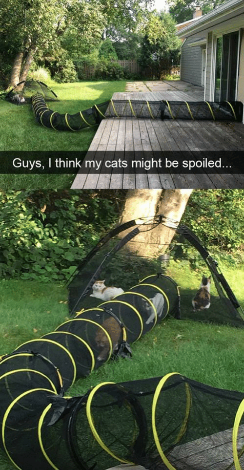 spoiled: Guys, I think my cats might be spoiled