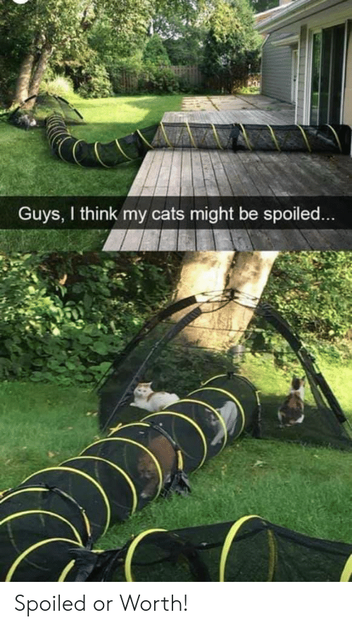 spoiled: Guys, I think my cats might be spoiled... Spoiled or Worth!