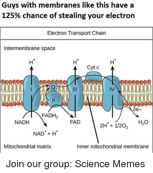 Memes, Matrix, and Science: Guys with membranes like this have a  125% chance of stealing your electron  Electron Transport Chain  Intermembrane space  Ht  Ht  H*  eceee  IV  2e-  FADH2  NADH  FAD  H2O  NADH  Mitochondrial matrix  Inner mitochondrial membrane Join our group: Science Memes