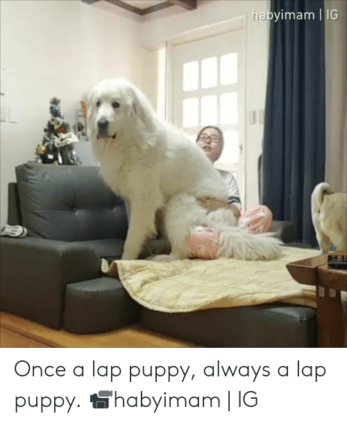 Dank, Puppy, and 🤖: habyimam IG Once a lap puppy, always a lap puppy.  📹habyimam | IG