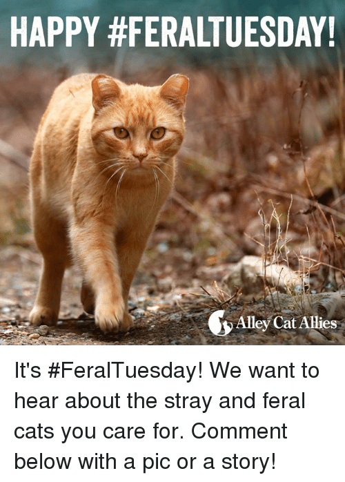 alley cats: HAPPY #FERALTUESDAY!  Alley Cat Allies It's #FeralTuesday! We want to hear about the stray and feral cats you care for. Comment below with a pic or a story!