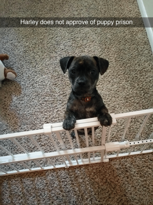 Approve Of: Harley does not approve of puppy prison