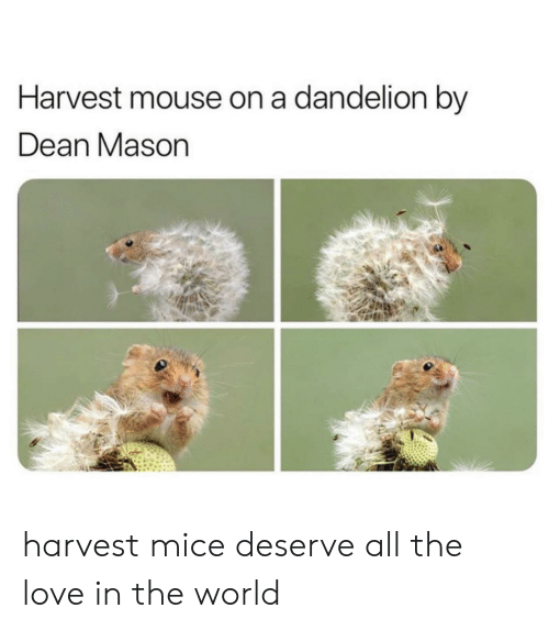 Love, Mouse, and World: Harvest mouse on a dandelion by  Dean Mason harvest mice deserve all the love in the world