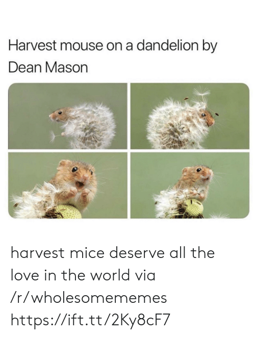 Dean: Harvest mouse on a dandelion by  Dean Mason harvest mice deserve all the love in the world via /r/wholesomememes https://ift.tt/2Ky8cF7
