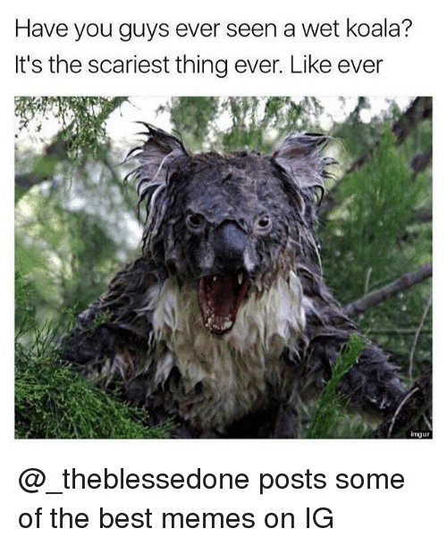 imgure: Have you guys ever seen a wet koala?  It's the scariest thing ever. Like ever  imgur @_theblessedone posts some of the best memes on IG