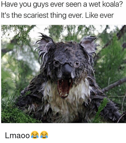 Koalaing: Have you guys ever seen a wet koala?  It's the scariest thing ever. Like ever Lmaoo😂😂
