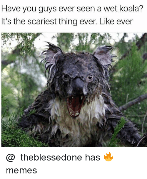 Koalaing: Have you guys ever seen a wet koala?  It's the scariest thing ever. Like ever @_theblessedone has 🔥 memes