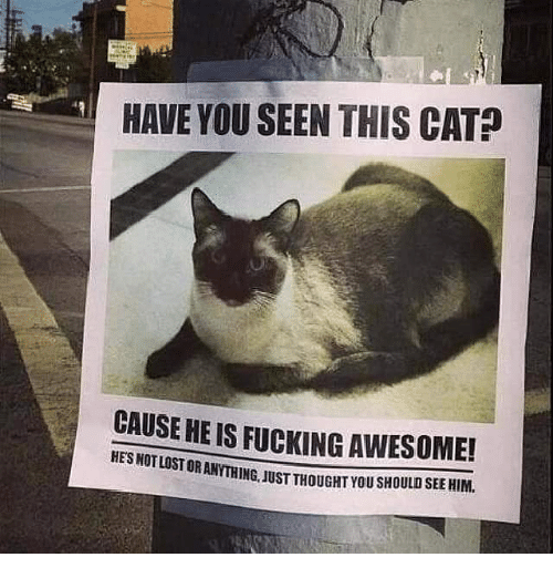 Have You Seen This Cat: HAVE YOU SEEN THIS CAT  CAUSE HE IS LOSTORANYTHING. JUST THOUGHT YOUSHOULDSEEHIM.