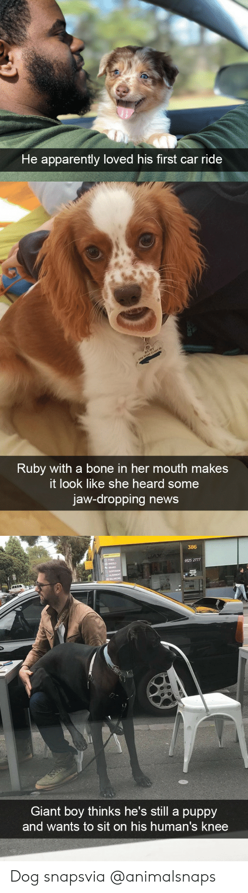 Apparently, News, and Target: He apparently loved his first car ride   Ruby with a bone in her mouth makes  t look like she heard some  jaw-dropping news   386  9525 2777  Giant boy thinks he's still a puppy  and wants to sit on his human's knee Dog snapsvia @animalsnaps
