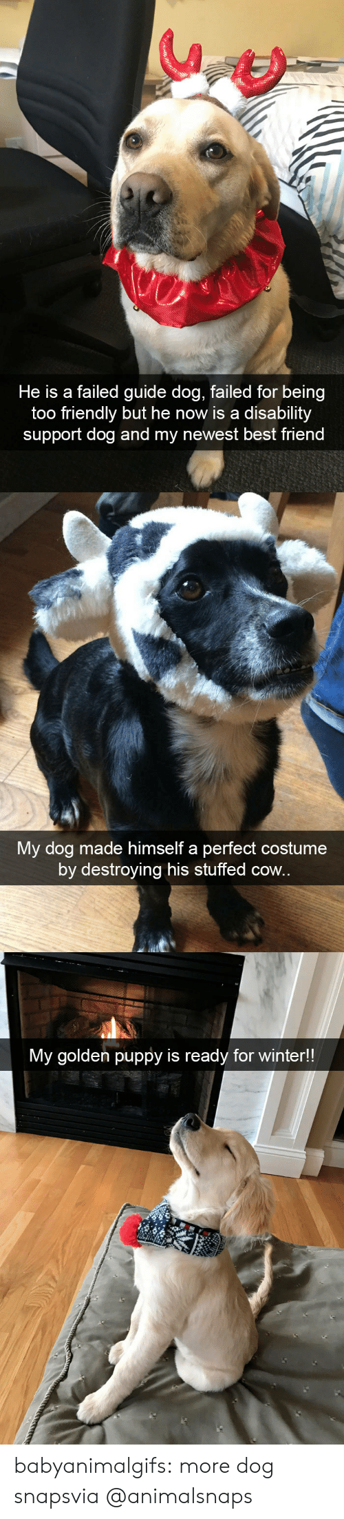 Puppy: He is a failed guide dog, failed for being  too friendly but he now is a disability  support dog and my newest best friend   My dog made himself a perfect costume  by destroying his stuffed cow.   My golden puppy is ready for winter!! babyanimalgifs:  more dog snapsvia @animalsnaps​