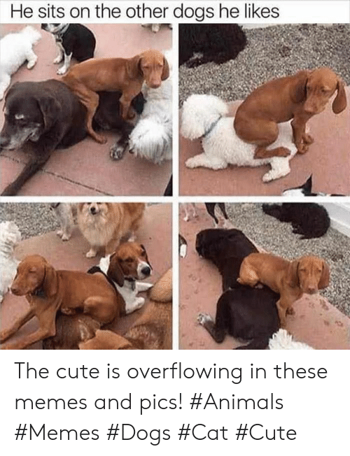 Animals Memes: He sits on the other dogs he likes The cute is overflowing in these memes and pics! #Animals #Memes #Dogs #Cat #Cute