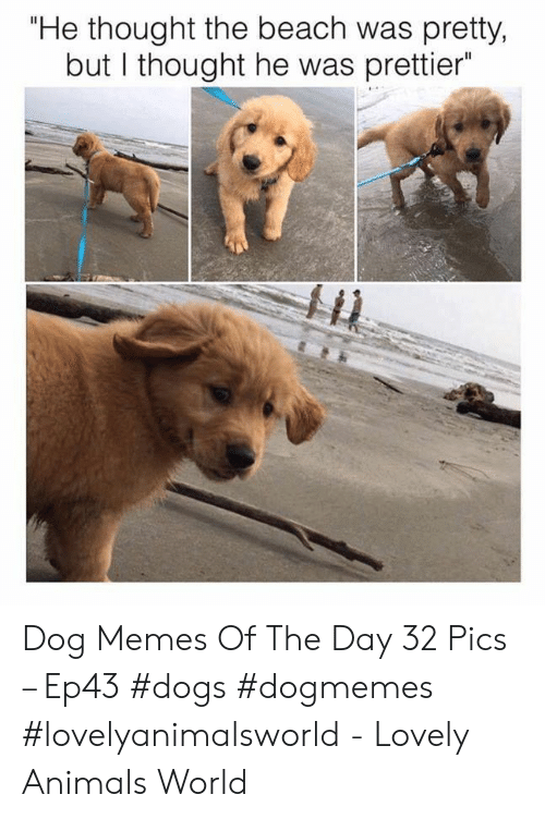 "Animals, Dogs, and Memes: ""He thought the beach was pretty,  but I thought he was prettier Dog Memes Of The Day 32 Pics – Ep43 #dogs #dogmemes #lovelyanimalsworld - Lovely Animals World"