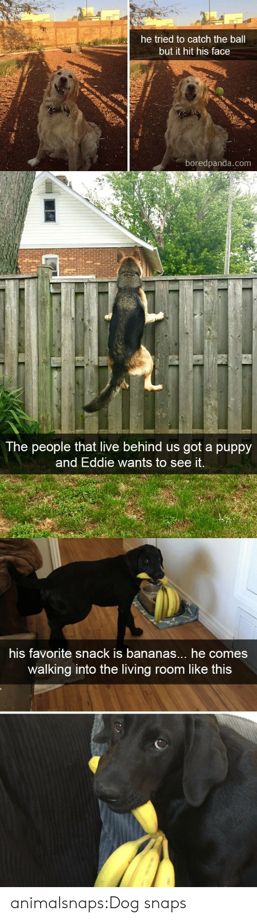 Eddie: he tried to catch the ball  but it hit his face  boredpanda.com   The people that live behind us got a puppy  and Eddie wants to see it.   his favorite snack is bananas... he comes  walking into the living room like this animalsnaps:Dog snaps