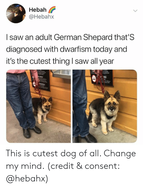 Saw, Today, and Change: Hebah  @Hebah>x  I saw an adult German Shepard that'S  diagnosed with dwarfism today and  it's the cutest thing I saw all year  ING This is cutest dog of all. Change my mind. (credit & consent: @hebahx)