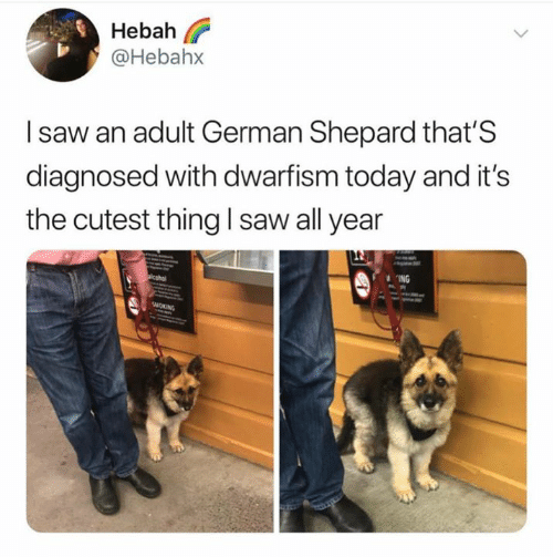 Saw, Today, and German: Hebah l?  @Hebahx  I saw an adult German Shepard that'S  diagnosed with dwarfism today and it's  the cutest thing I saw all year  ING