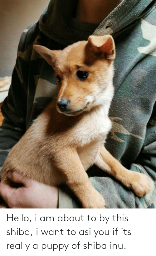 Shiba Inu: Hello, i am about to by this shiba, i want to asi you if its really a puppy of shiba inu.