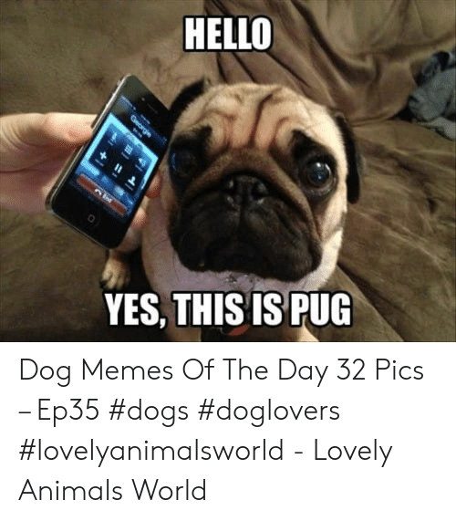Animals, Dogs, and Hello: HELLO  YES, THISIS PUG Dog Memes Of The Day 32 Pics – Ep35 #dogs #doglovers #lovelyanimalsworld - Lovely Animals World