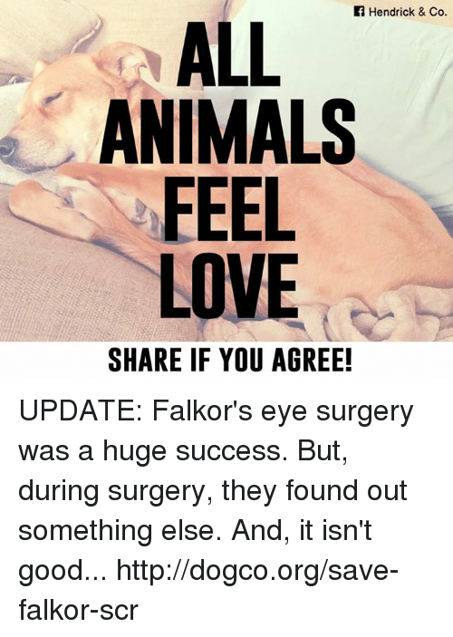 animal feelings: Hendrick & Co.  ALL  ANIMALS  FEEL  LOVE  SHARE IF YOU AGREE! UPDATE: Falkor's eye surgery was a huge success. But, during surgery, they found out something else. And, it isn't good... http://dogco.org/save-falkor-scr