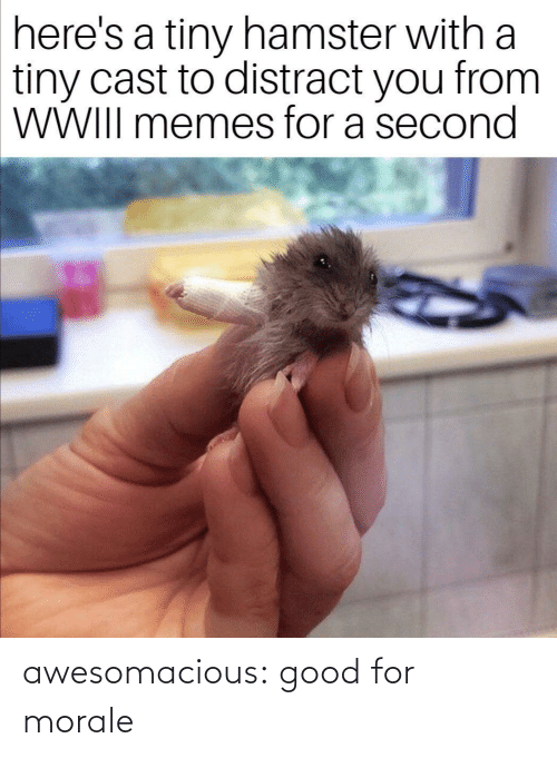 Hamster: here's a tiny hamster with a  tiny cast to distract you from  WWIII memes for a second awesomacious:  good for morale