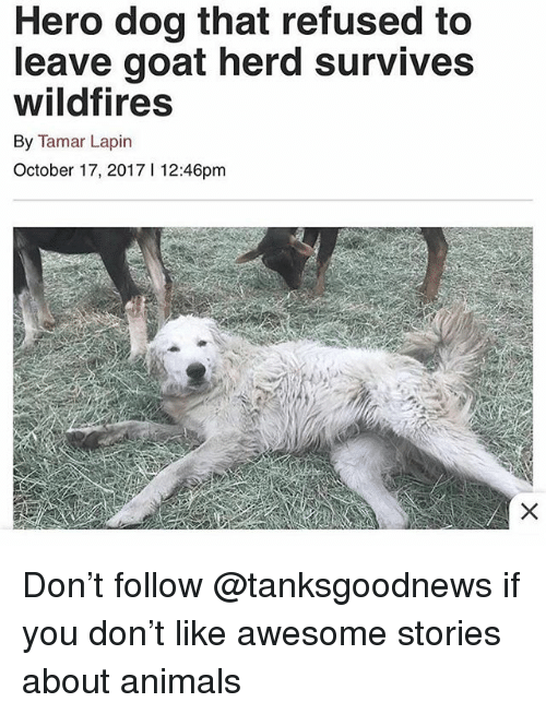 Animals, Funny, and Goat: Hero dog that refused to  leave goat herd survives  wildfires  By Tamar Lapin  October 17, 20171 12:46pm Don't follow @tanksgoodnews if you don't like awesome stories about animals