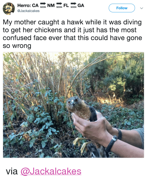 "confused face: Herro: CA 9 NMFL GA  Follow  @Jackalcakes  My mother caught a hawk while it was diving  to get her chickens and it just has the most  confused face ever that this could have gone  so wrong <p>via <a href=""https://twitter.com/Jackalcakes/status/975530919434993664"" target=""_blank"">@Jackalcakes</a></p>"
