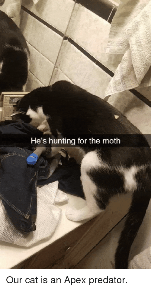 Funny, Hunting, and Apex: He's hunting for the moth Our cat is an Apex predator.