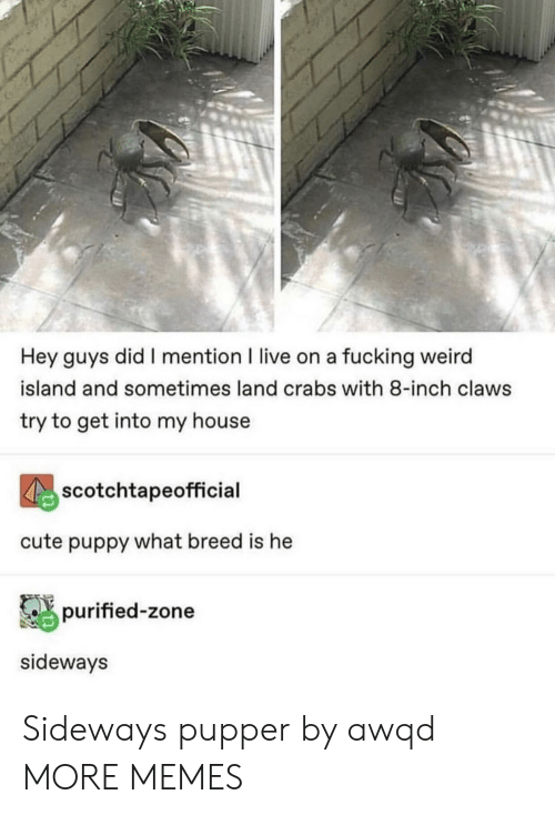 Breed: Hey guys did I mention I live on a fucking weird  island and sometimes land crabs with 8-inch claws  try to get into my house  scotchtapeofficial  cute puppy what breed is he  purified-zone  sideways Sideways pupper by awqd MORE MEMES