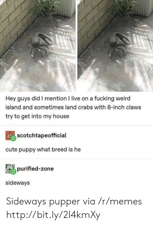 Cute, Fucking, and Memes: Hey guys did I mention I live on a fucking weird  island and sometimes land crabs with 8-inch claws  try to get into my house  scotchtapeofficial  cute puppy what breed is he  purified-zone  sideways Sideways pupper via /r/memes http://bit.ly/2I4kmXy