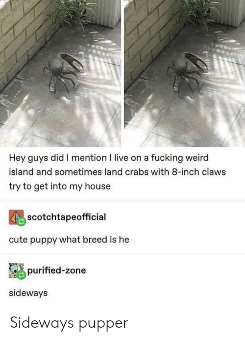 Cute, Fucking, and My House: Hey guys did I mention I live on a fucking weird  island and sometimes land crabs with 8-inch claws  try to get into my house  scotchtapeofficial  cute puppy what breed is he  purified-zone  sideways Sideways pupper