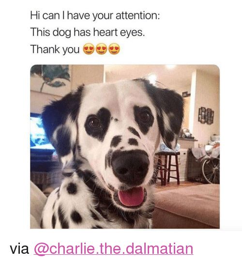 """I Have Your: Hi can I have your attention  This dog has heart eyes  Thank you <p>via<a href=""""https://www.instagram.com/charlie.the.dalmatian/"""" target=""""_blank"""">@charlie.the.dalmatian</a></p>"""