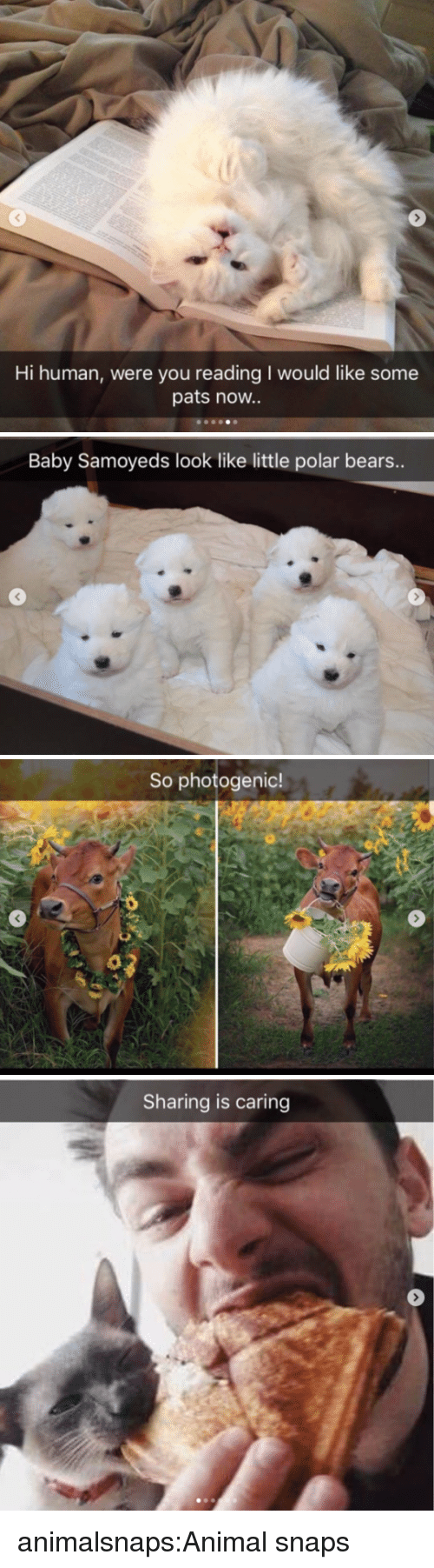 Target, Tumblr, and Animal: Hi human, were you reading I would like some  pats noW..   Baby Samoyeds look like little polar bears..   So photogenic!   Sharing is caring animalsnaps:Animal snaps