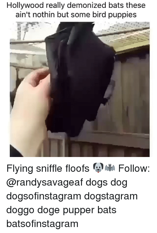 Doge, Dogs, and Memes: Hollywood really demonized bats these  ain't nothin but some bird puppies Flying sniffle floofs 🐶🦇 Follow: @randysavageaf dogs dog dogsofinstagram dogstagram doggo doge pupper bats batsofinstagram