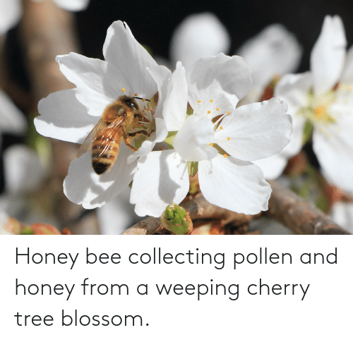 Collecting: Honey bee collecting pollen and honey from a weeping cherry tree blossom.