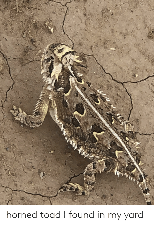 toad: horned toad I found in my yard