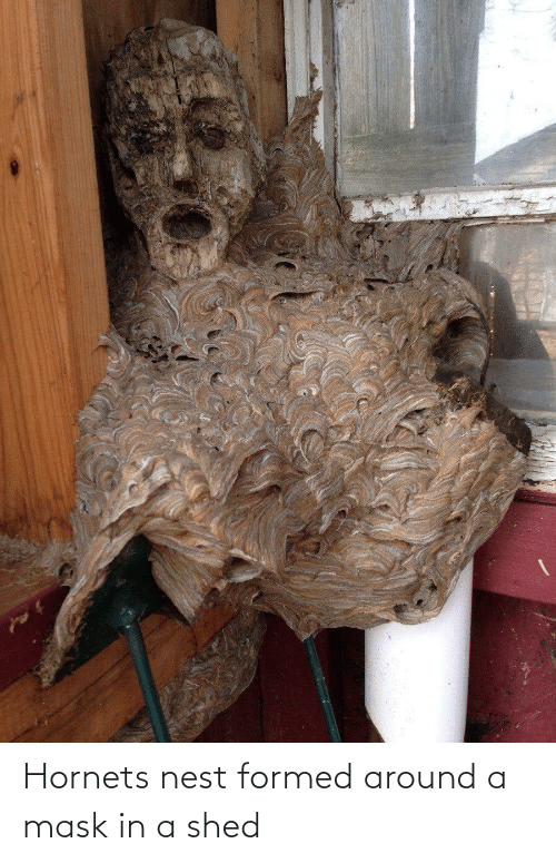 Nest: Hornets nest formed around a mask in a shed