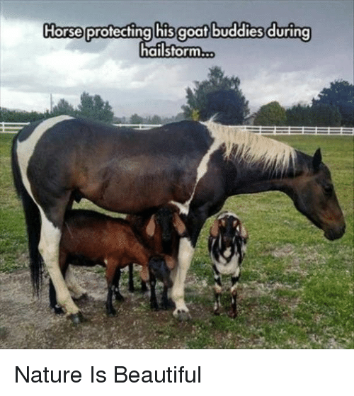 Nature Is Beautiful: Horse protecting his goat buddies during  hailstorm... Nature Is Beautiful