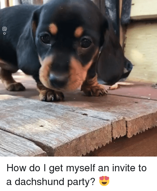 dachshund: How do I get myself an invite to a dachshund party? 😍