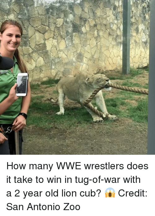 tug: How many WWE wrestlers does it take to win in tug-of-war with a 2 year old lion cub? 😱  Credit:  San Antonio Zoo