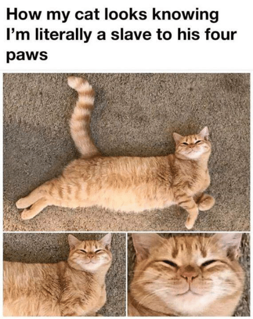 Memes, 🤖, and How: How my cat looks knowing  I'm literally a slave to his four  paws