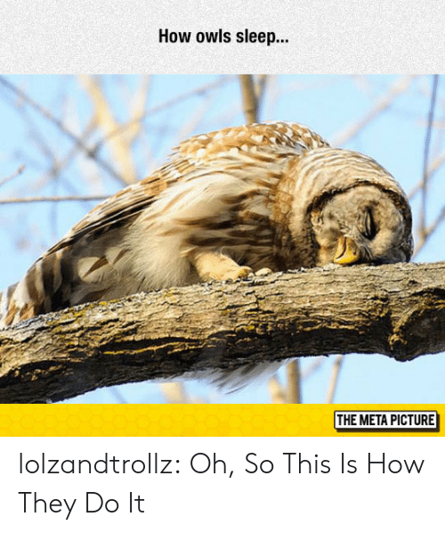 owls: How owls sleep..  THE META PICTURE lolzandtrollz:  Oh, So This Is How They Do It